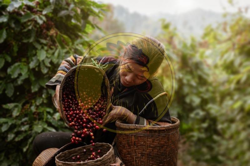 Nhà cung cấp cà phê sạch chất lượng Lyon Coffee hàng đầu tại Việt Nam