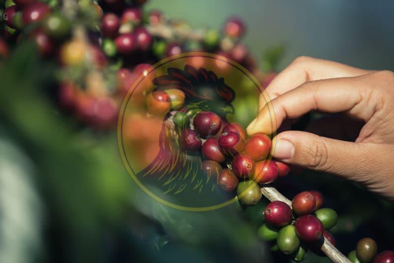 Lyon Coffee sử dụng những hạt cà phê nhân chín mọng tại vùng đất tốt nhất tại Việt Nam