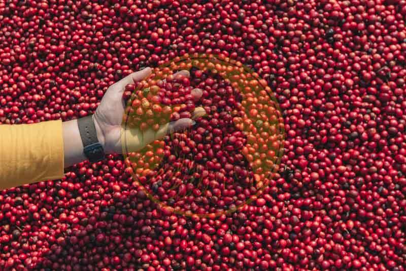 Công suất sản xuất nguồn cà phê xuất khẩu